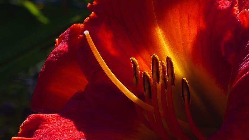 Day lily flower parts macro during summer time in Rutgers Garden NJ USA