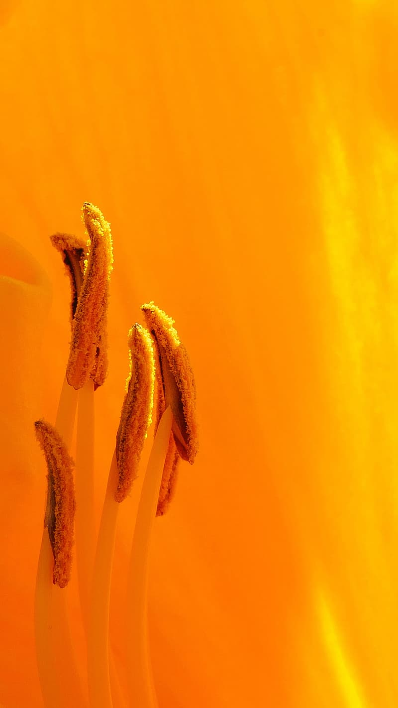 Orange daylily flower parts macro during summer time in Rutgers Garden NJ USA